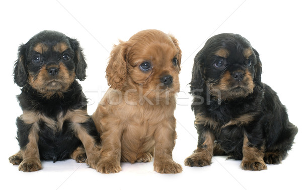 puppies cavalier king charles Stock photo © cynoclub