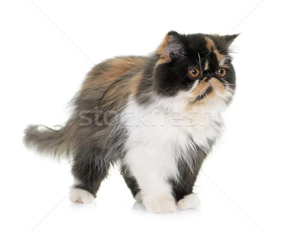 tricolor persian cat Stock photo © cynoclub