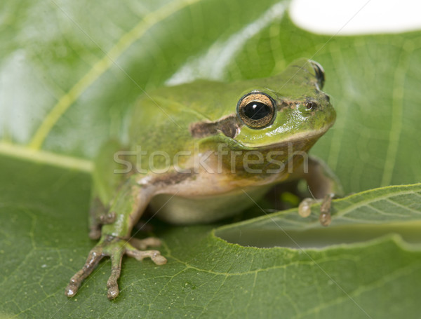 Stock photo: European tree frog