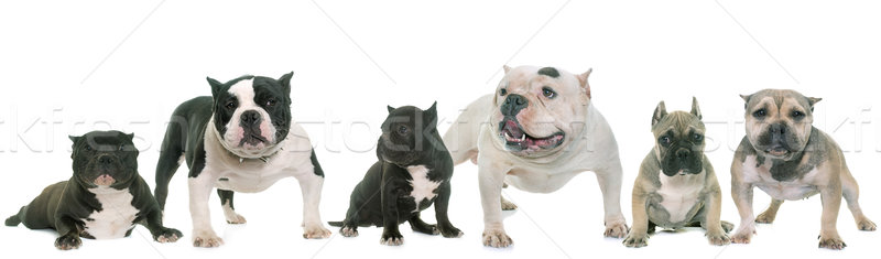 group of american bully Stock photo © cynoclub