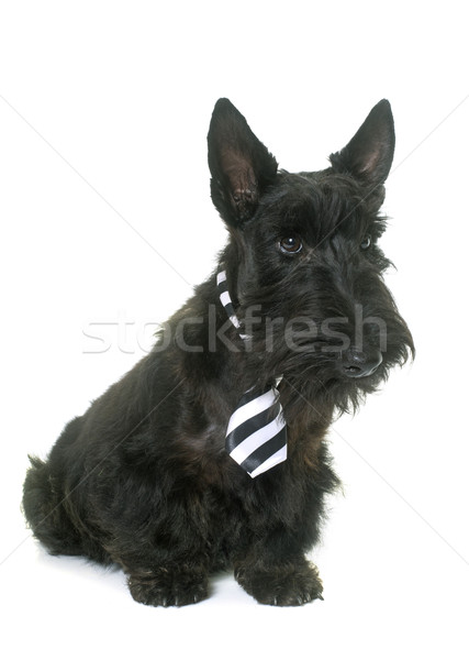 young scottish terrier with tie Stock photo © cynoclub