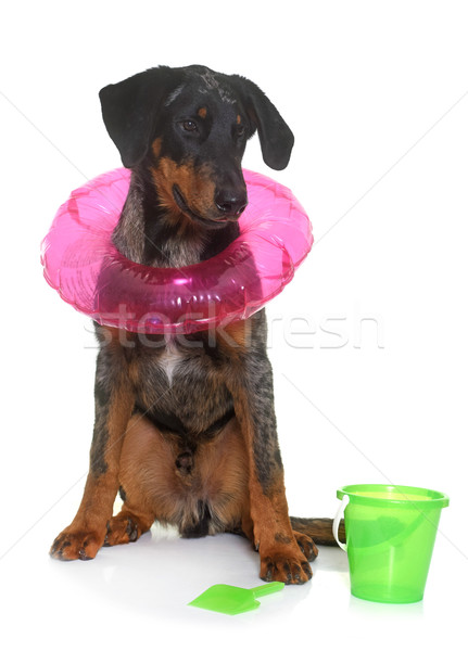 young beauceron in summer Stock photo © cynoclub