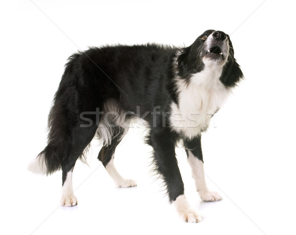 border collie barking Stock photo © cynoclub