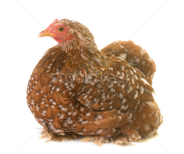 Pekin chicken in studio Stock photo © cynoclub