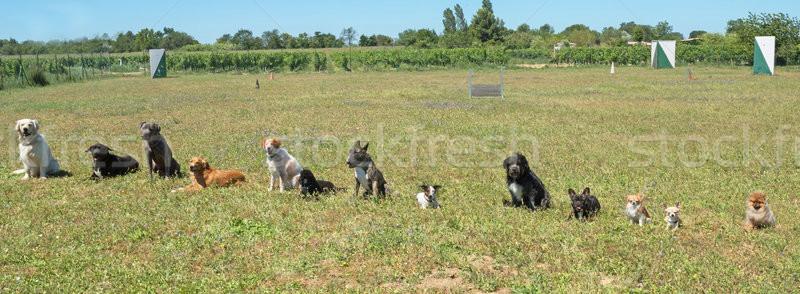 Csoport kutyák képzés engedelmesség kutya mező Stock fotó © cynoclub