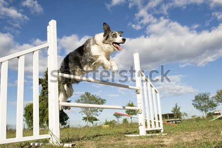 Purebred Russian Borzoi wolfhound playing in agility  Stock photo © cynoclub