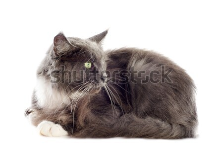 blue maine coon cat Stock photo © cynoclub