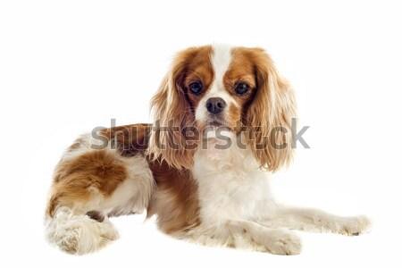 Rey jóvenes perro animales estudio cachorro Foto stock © cynoclub