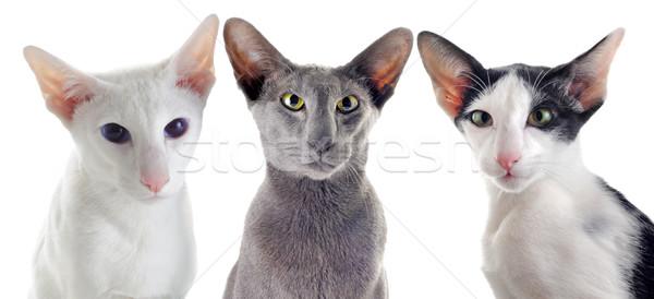 три кошек портрет белый глазах Сток-фото © cynoclub