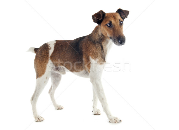 Fox terrier portrait blanche chien Photo stock © cynoclub
