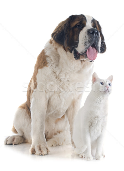 Saint Bernard and cat Stock photo © cynoclub