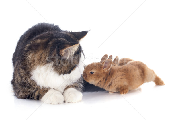 maine coon cat and bunny Stock photo © cynoclub