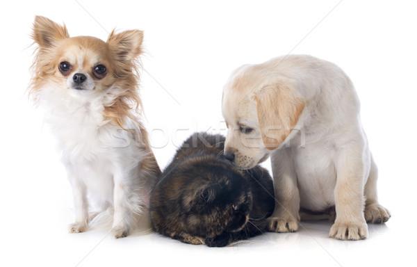 エキゾチック ショートヘア 猫 犬 白 犬 ストックフォト © cynoclub