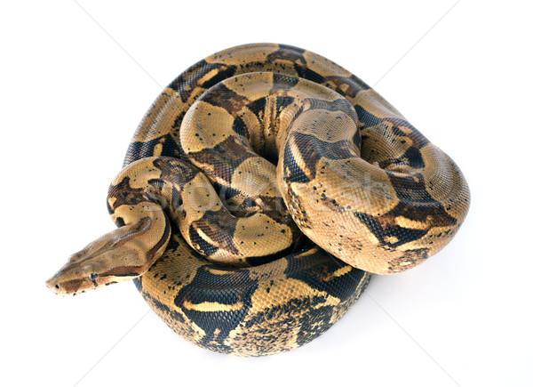 Boa constrictor Stock photo © cynoclub