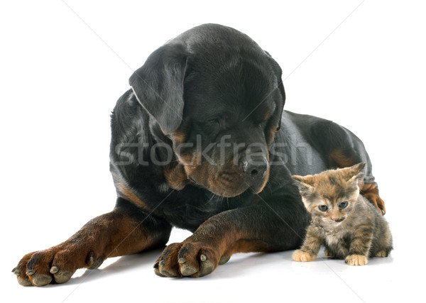 rottweiler and kitten Stock photo © cynoclub