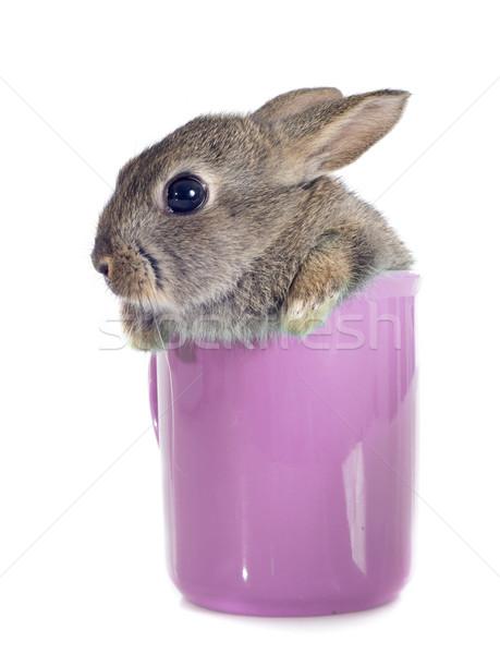 европейский кролик чайная чашка белый ребенка Bunny Сток-фото © cynoclub