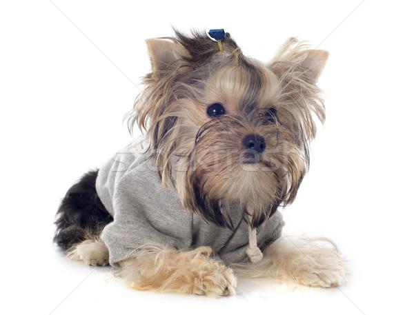 Foto stock: Yorkshire · terrier · retrato · branco · cão