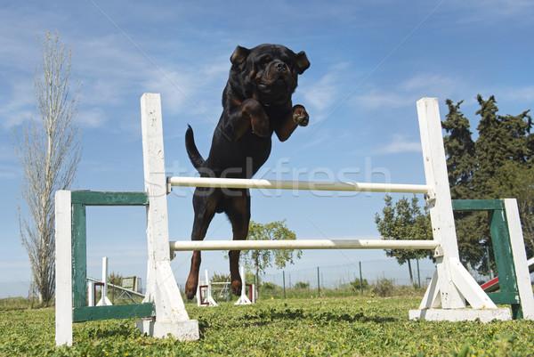 training of agility Stock photo © cynoclub