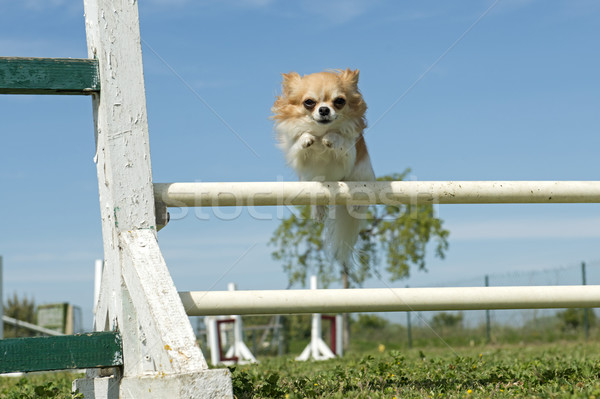 chihuahua in agility Stock photo © cynoclub
