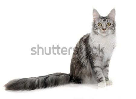 Maine kat witte kitten huisdier geïsoleerd Stockfoto © cynoclub