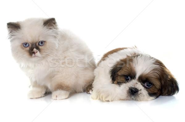 Britannique chaton chiot blanche chien studio Photo stock © cynoclub