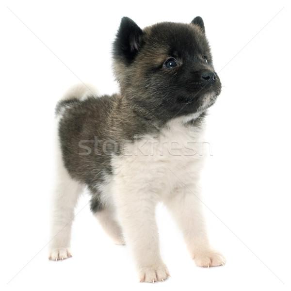 puppy american akita Stock photo © cynoclub