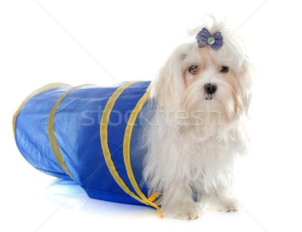 Stock photo: playing maltese dog