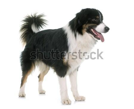 adult shetland sheepdog Stock photo © cynoclub