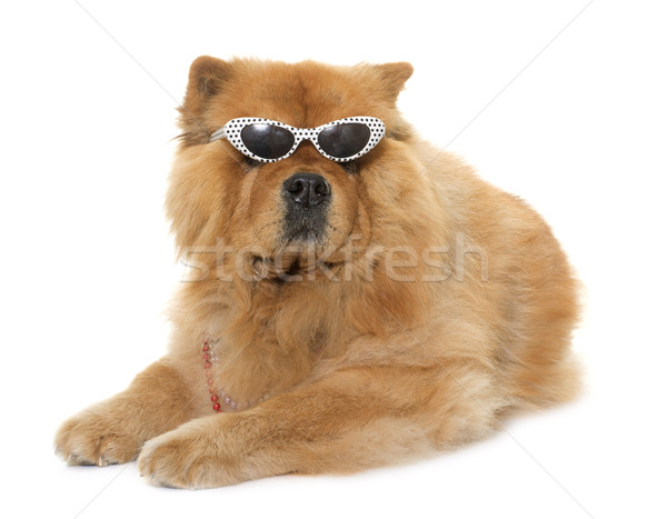 chow chow with glasses Stock photo © cynoclub