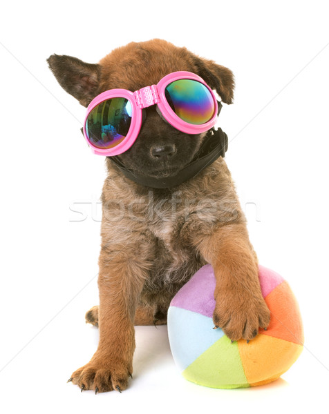 Cucciolo pastore belga cane occhiali palla animale Foto d'archivio © cynoclub