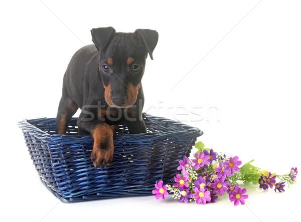 子犬 テリア 白 バスケット ストックフォト © cynoclub