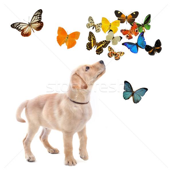 Kutyakölyök labrador retriever fajtiszta pillangók fehér baba Stock fotó © cynoclub