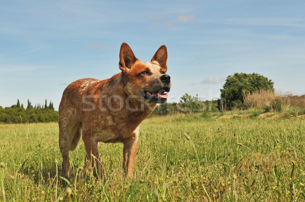 Australisch vee hond Rood natuur hoofd Stockfoto © cynoclub
