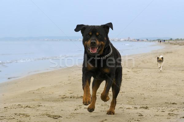 rottweiler running on the beach Stock photo © cynoclub