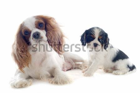 family cavalier king charles Stock photo © cynoclub