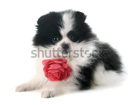 子犬 ボーダーコリー ボックス 肖像 白 犬 ストックフォト © cynoclub