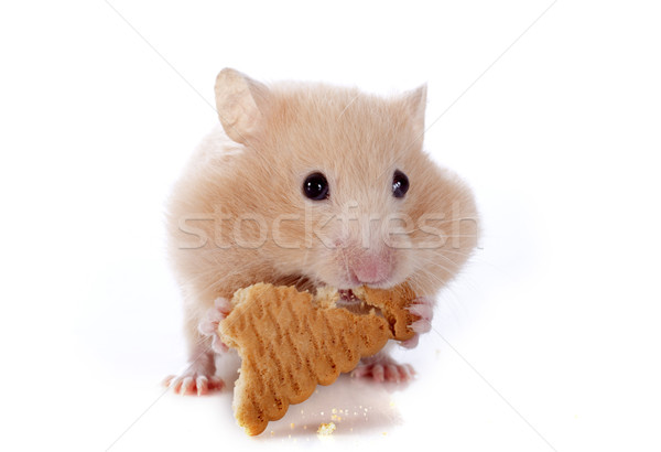 Eten hamster witte cake huisdier cute Stockfoto © cynoclub