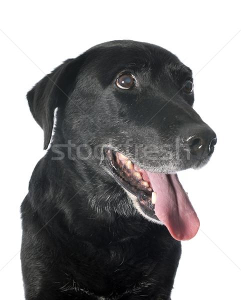 Vecchio labrador retriever bianco nero studio pet Foto d'archivio © cynoclub