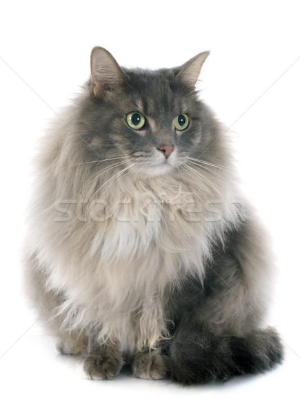 ペルシャ猫 白 脂肪 ペット 孤立した 白地 ストックフォト © cynoclub