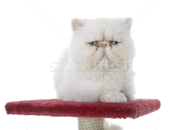 white persian cat on scratching post Stock photo © cynoclub