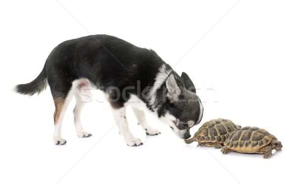 Teknősbéka fehér izolált kutya természet kagyló Stock fotó © cynoclub