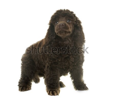 Kutyakölyök barna uszkár fehér kutya haj Stock fotó © cynoclub