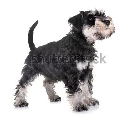 puppy afghan hound Stock photo © cynoclub