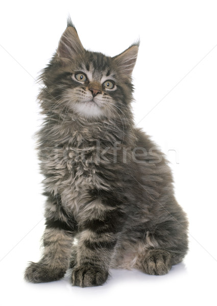 Stockfoto: Maine · kitten · witte · kat · studio