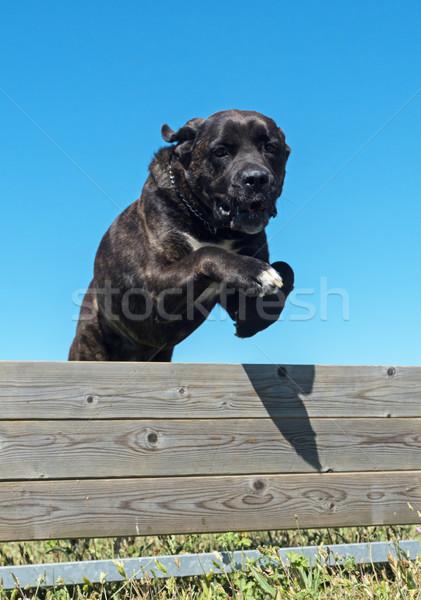 Képzés engedelmesség ugrik kutyakiképzés mező kerítés Stock fotó © cynoclub