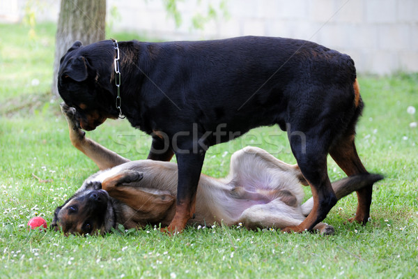 malinois and rottweiler Stock photo © cynoclub