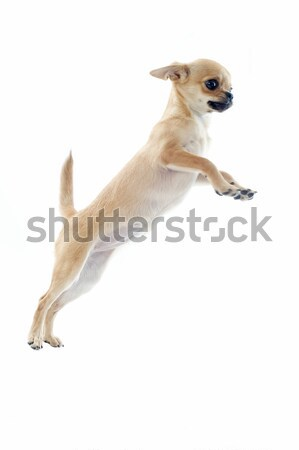 Stock photo: jumping puppy chihuahua
