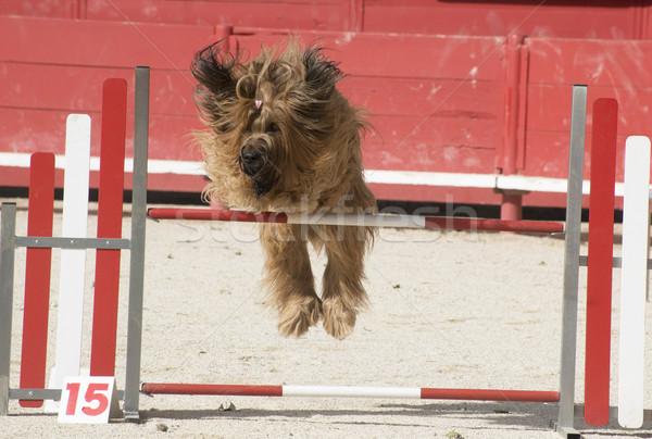 briard in agility Stock photo © cynoclub