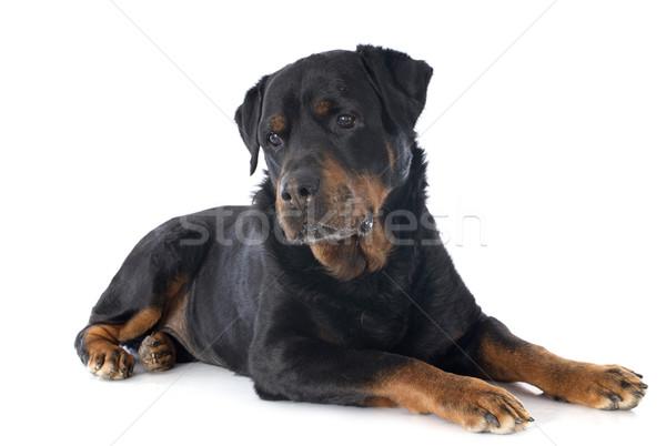 Rottweiler portret witte zwarte hoofd Stockfoto © cynoclub