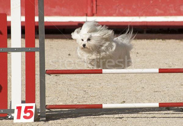 maltese dog  in agility Stock photo © cynoclub
